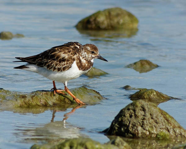 Photograph - Ruddy Turnstone In His Element by Dawn Currie
