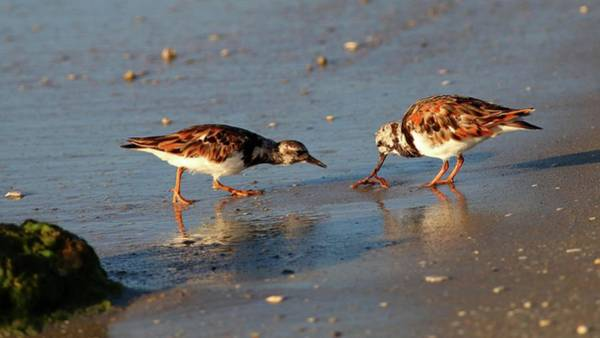 Photograph - Ruddy Turnstones by Carol Montoya