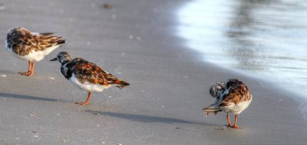 Photograph - Ruddy Turnstones IIi by Carol Montoya