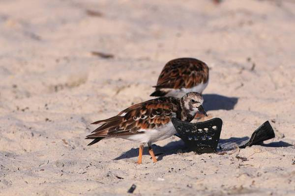 Photograph - Ruddy Turnstones With Litter by Carol Montoya