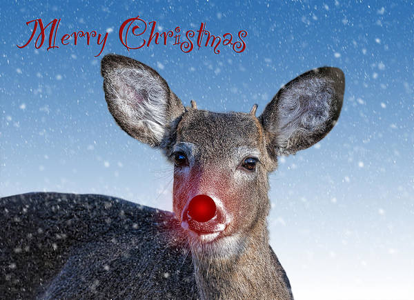 Wall Art - Photograph - Rudolph Merry Christmas Card by SharaLee Art
