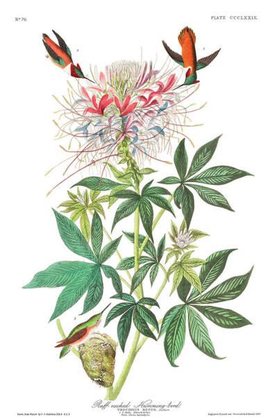 Wall Art - Painting - Ruff-necked Humming-bird by John James Audubon