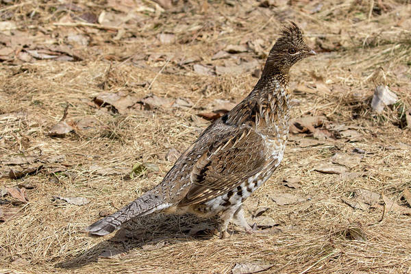 Photograph - Ruffed Grouse by Betty Pauwels