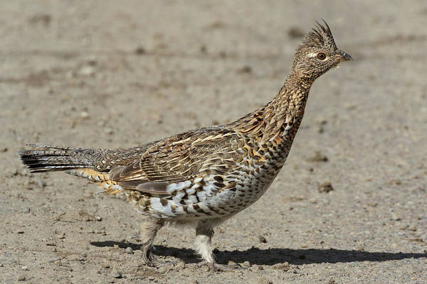 Ruffed Grouse Photograph - Ruffed Grouse In The Gros Ventre by Kathleen Bishop