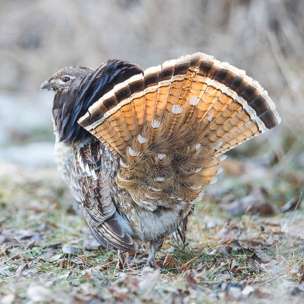Ruffed Grouse Photograph - Ruffed Grouse Tail Fan by Paul Freidlund