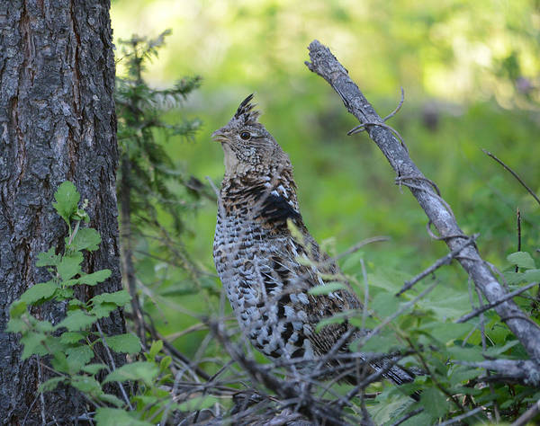 Ruffed Grouse Photograph - Ruffed Grouse by Whispering Peaks Photography