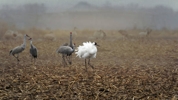 Photograph - Ruffle My Feathers by Susan Rissi Tregoning
