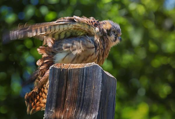 Ruffled Brown Falcon Art Print
