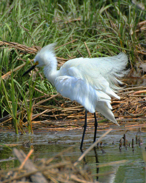 Photograph - Ruffled Feathers 1 by William Selander