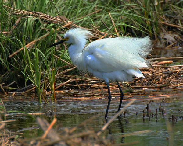 Photograph - Ruffled Feathers 2 by William Selander