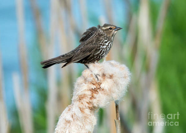 Red-winged Blackbird Wall Art - Photograph - Ruffled Feathers by Mike Dawson