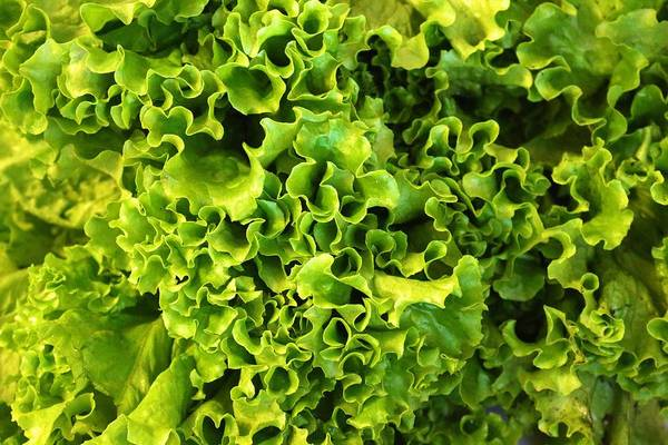 Photograph - Ruffled Green Lettuce by Polly Castor