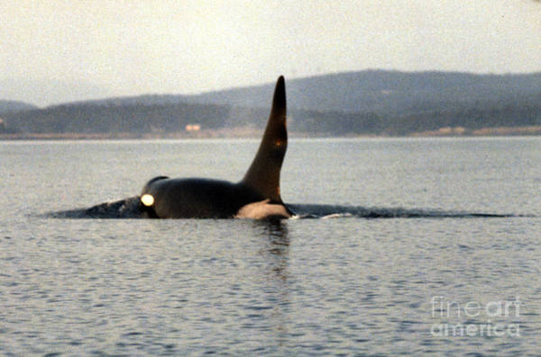 Photograph - Ruffles J1 Orca West Side Of San Juan Island, Wash. State1986 by California Views Archives Mr Pat Hathaway Archives
