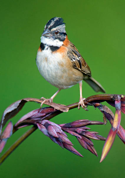 Rufous Photograph - Rufous-collared Sparrow Zonotrichia by Panoramic Images