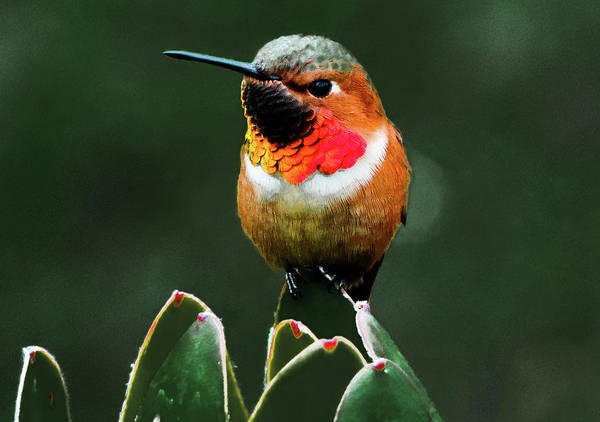 Photograph - Rufous Hummimgbird by Randy J Heath
