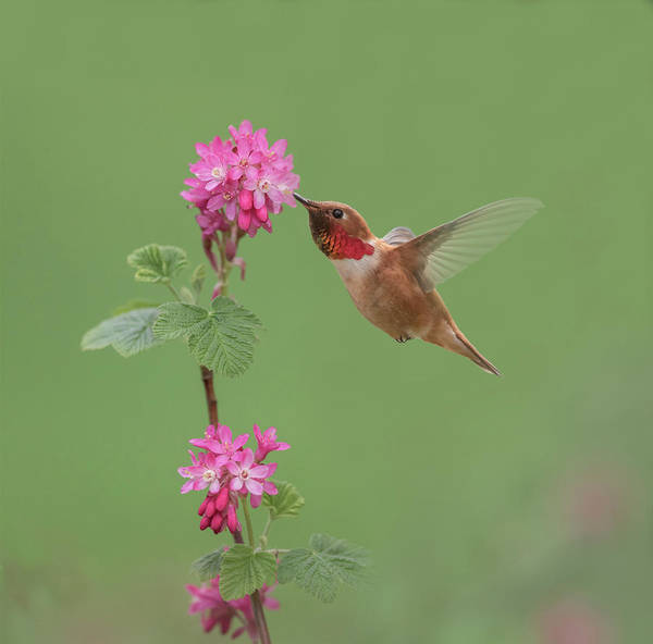 Wall Art - Photograph - Rufous Hummingbird Enjoying Sweet Nectar by Angie Vogel