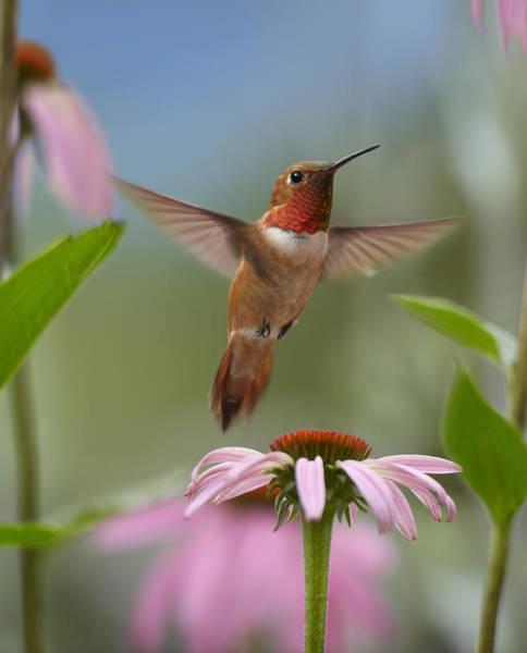 Selasphorus Photograph - Rufous Hummingbird Male Feeding by Tim Fitzharris