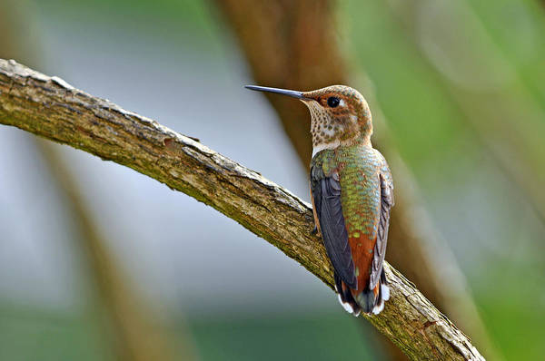 Wall Art - Photograph - Rufous Hummming Bird In Detail II by Laura Mountainspring