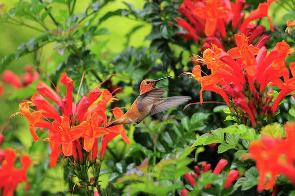 Photograph - Rufous In Orange by Lynn Bauer