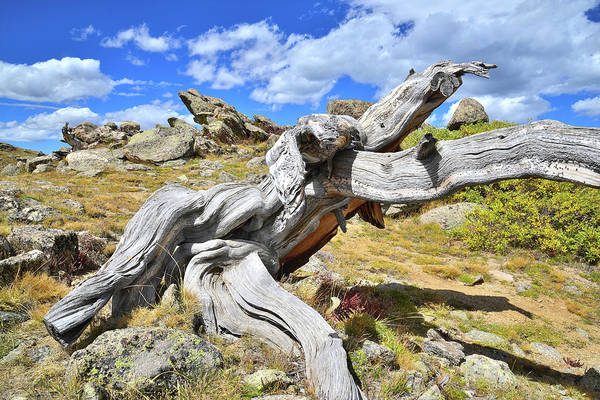Photograph - Runner Bristlecone by Ray Mathis