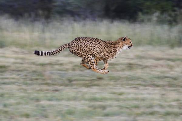 Photograph - Running Cheetah In Namibia by Suzi Eszterhas