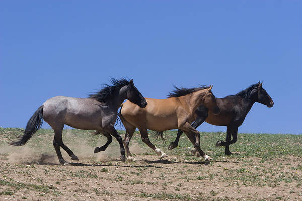 Photograph - Running Free- Wild Horses by Mark Miller