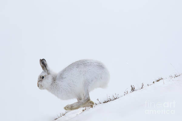 Photograph - Running Mountain Hare by Arterra Picture Library