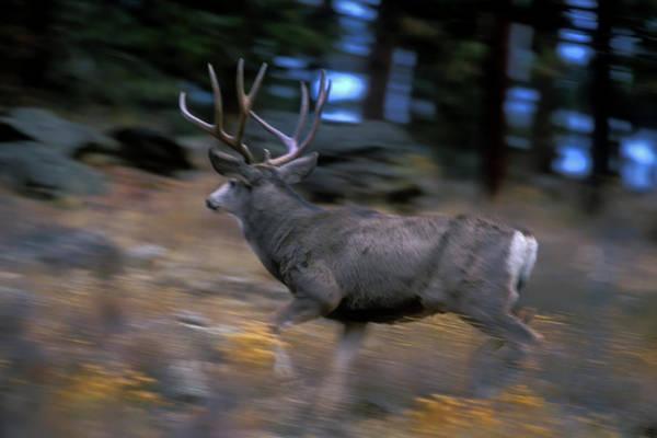 Photograph - Running Mule Deer Buck by Mark Miller