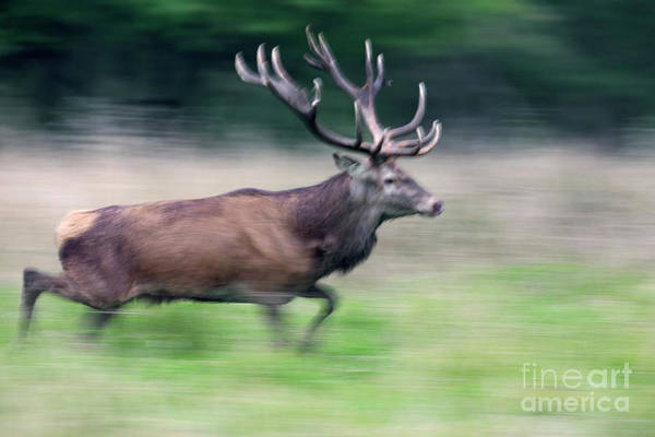 Photograph - Running Red Deer by Arterra Picture Library