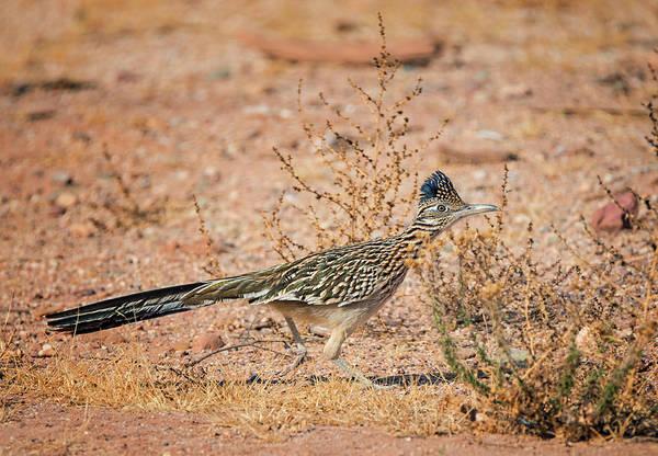 Geococcyx Photograph - Running Roadrunner by Loree Johnson