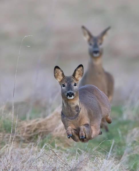 Photograph - Running Roe Deer by Peter Walkden