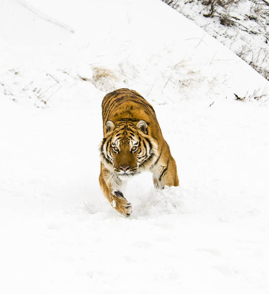 Photograph - Running Tiger by Scott Read