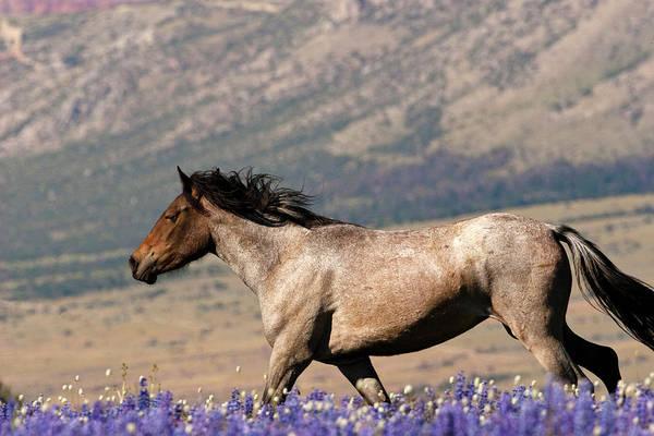 Photograph - Running Wild- Wild Stallion by Mark Miller