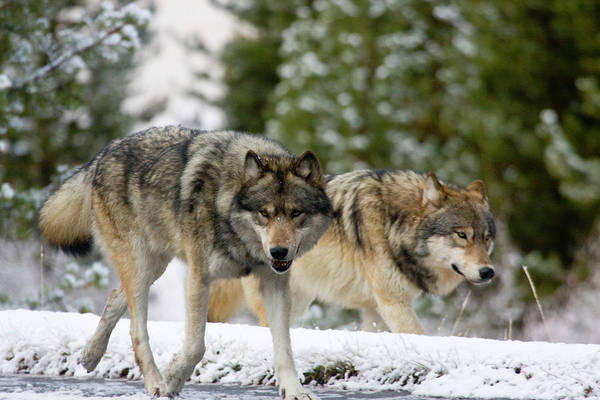 Photograph - Running With The Pack by Mark Miller