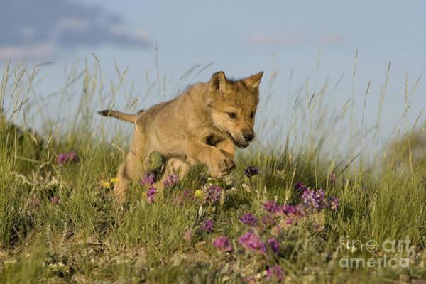Timber Wolves Photograph - Running Wolf Cub by Jean-Louis Klein & Marie-Luce Hubert