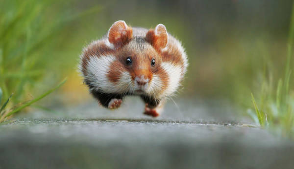 Hamster Photograph - Rush Hour by Julian Rad