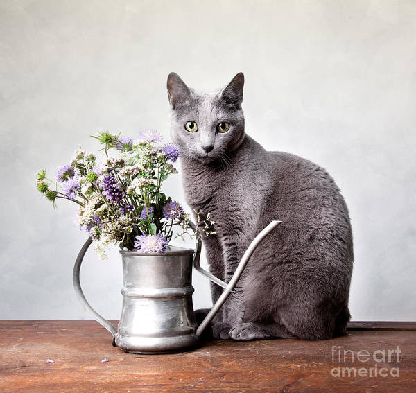 Beautiful Cats Wall Art - Photograph - Russian Blue 02 by Nailia Schwarz