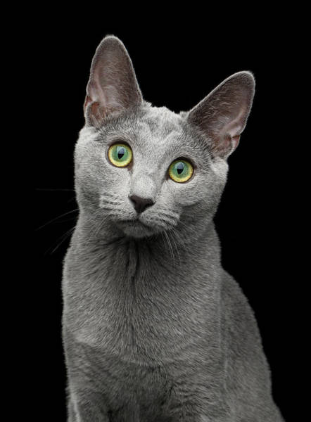 Wall Art - Photograph - Russian Blue Cat With Amazing Green Eyes On Isolated Black Backg by Sergey Taran