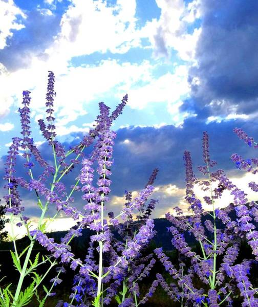 Wall Art - Photograph - Russian Sage by Will Borden