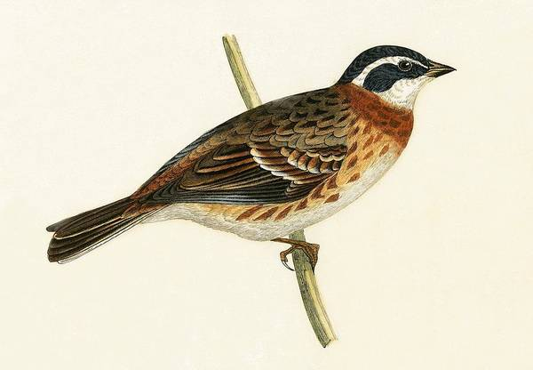 Bunting Painting - Rustic Bunting by English School