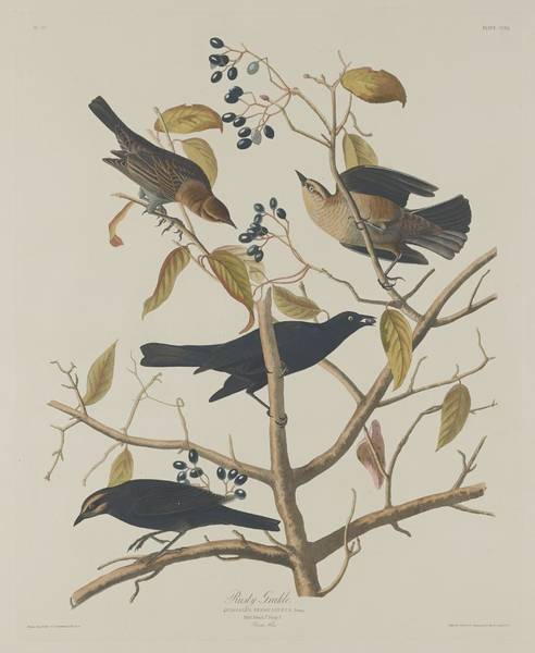 Rust Drawing - Rusty Grackle by Dreyer Wildlife Print Collections
