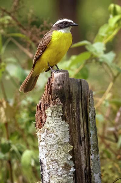 Photograph - Rusty-margined Flycatcher Palacio Del Barbas Filandia Quindio Co by Adam Rainoff