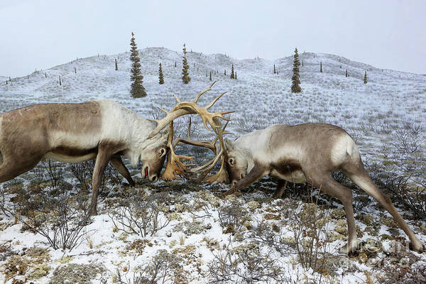 Photograph - Rutting Caribou Diorama by Kevin McCarthy