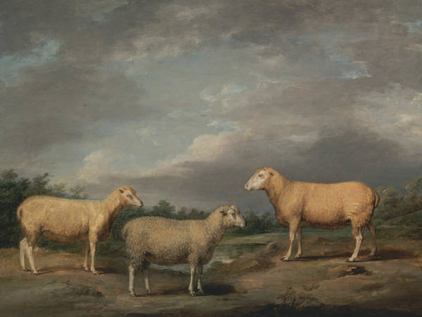 Ward Painting - Ryelands Sheep, The King's Ram, The King's Ewe And Lord Somerville's Wether by James Ward