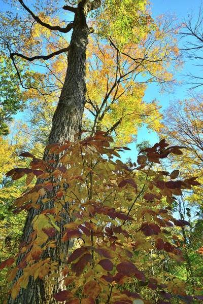 Photograph - Ryerson Woods Fall Color Canopy by Ray Mathis