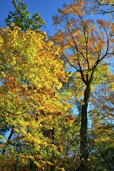 Photograph - Ryerson Woods Maples by Ray Mathis