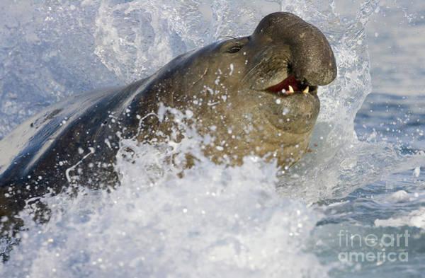 Photograph - S Elephant Seal In The Surf by Yva Momatiuk John Eastcott