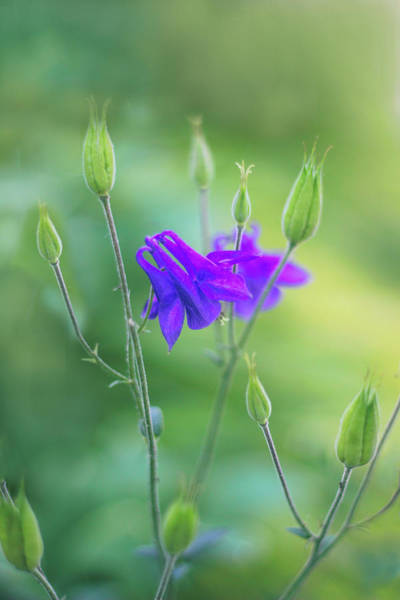 Wall Art - Photograph - Columbine Whispers by Jessica Jenney