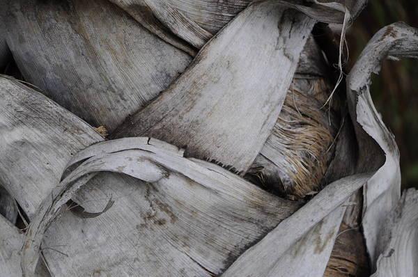 Photograph - Sabel Palm 2 by Michael Raiman