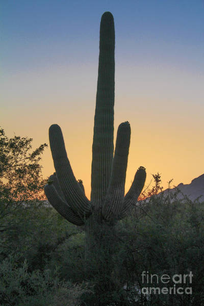 Photograph - Sabino Canyon Cactus Sunset by Jemmy Archer